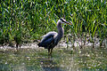 Blue Heron AO-083.jpg