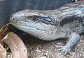 Blue Tongue Lizard ETJ.JPG