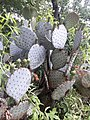 Blue cactus nopal azul en Texas 2019 (2).jpg