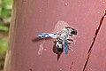 Blue winged wasp (6061489292).jpg