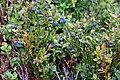 Bluebeerys - panoramio.jpg