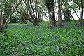 Bluebell Woods - geograph.org.uk - 1288079.jpg