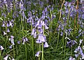 Bluebells, Hanchurch Hills - geograph.org.uk - 1306614.jpg