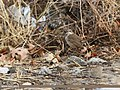 Bluethroat (Luscinia svecica) (33480132713).jpg