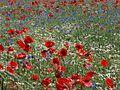 Blumenwiese 005-2.jpg