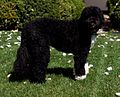 Bo, the Obama family dog, stands in the Rose Garden, 2010 (cropped).jpg