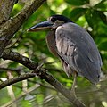 Boat-billed heron (Cochleatius cochlearius), Campeche, Mex. (2015).jpg