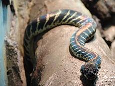 Boelen Python 01.jpg