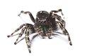 Bold Jumping Spider (17173723819).jpg