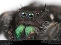 Bold jumping spider (Salticidae, Phidippus audax (Hentz)) (37133709544).jpg