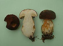 Un gros champignon brun au pied renflé