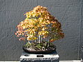 Bonsai United States National Arboretum 3.JPG
