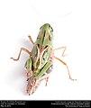 Boopie (Acrididae, Boopedon sp.) (29471104614).jpg