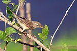 Booted Warbler (Iduna caligata) ചിന്നൻഭേരി (32246872555).jpg