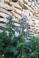 Borago officinalis-Bourrache-20150415.jpg