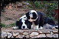 Border Collie Hembra Blanca y Negra (Barbie, Los Baganes Border Collie) Con una cachorrita.jpg