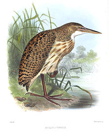 BotaurusPinnatusSmit.jpg
