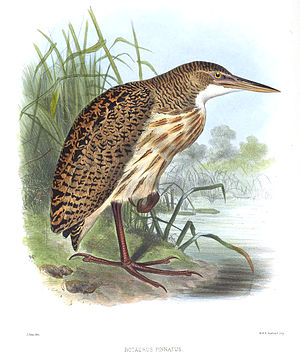 Pinnated bittern - Image: Botaurus Pinnatus Smit