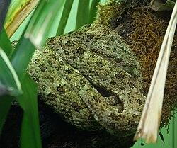 Bothriopsis taeniata (3).jpg