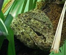 Bothriopsis