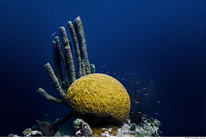 Belize Barrier Reef - Brain Coral in the Great Blue Hole