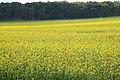 Brassica napus field, koolzaadveld(3).jpg