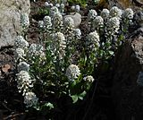 Brassicaceae 2015-04-16 475.jpg