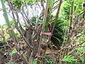 Breadfruit - കടച്ചക്ക 06.JPG