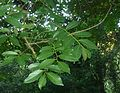 Bridelia micrantha, loof, Roodekrans, b.jpg