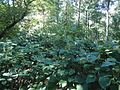 Broadleafed plants in park in Cranford New Jersey.jpg
