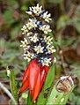 Bromeliad (Aechmea mertensii) flowers (39986903311).jpg