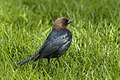 Brown-headed Cowbird - Point Pelee - Ontario 12052017-FJ0A5573 (39105642384).jpg