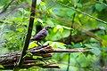Brown-headed cowbird (47830876942).jpg
