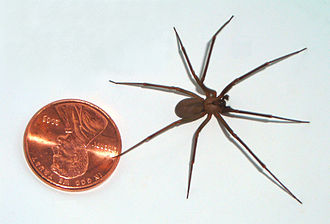 Brown recluse spider - A large brown recluse compared to a US penny (diameter 0.75 inches, 19.05mm)