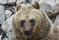 Brown Bear (45289839961).jpg