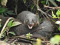 Brown mongoose DM DSCN8099.jpg