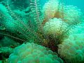 Bubble coral and fronds (5501922050).jpg