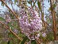 Buddleja officinalis in Jardin des Plantes 03.JPG