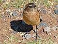 Buff-streaked Chat (Oenanthe bifasciata) female (7034441835).jpg