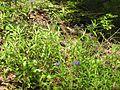 Buglossoides purpurocaerulea 001.JPG