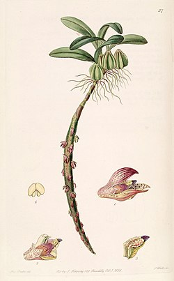 Bulbophyllum bracteolatum - Edwards vol 24 (NS 1) pl 57 (1838).jpg