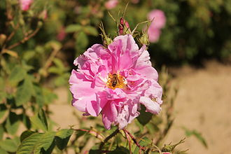 Rosa × damascena - Bulgarian rose, rose Otto, or Kazanlak rose)