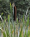 Bulrush (Typha latifolia) - Oslo, Norway 2020-09-05.jpg