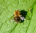 Bumblebee (male Bombus pascuorum?), Sandy, Bedfordshire (7938007436).jpg
