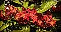 Bunch of Ixora flowers.jpg