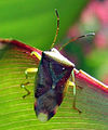 Bunte Blattwanze Elasmostethus interstinctus.jpg