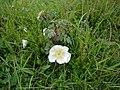 Burnet Rose - Rosa pimpinellifolia - geograph.org.uk - 1164416.jpg