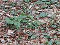 Buschwindröschen im Wald 14.JPG