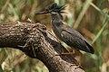 Butorides striata, Austin Roberts Bird Sanctuary, Pretoria 021.jpg