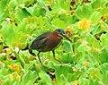 Butorides virescens (Green heron).jpg
